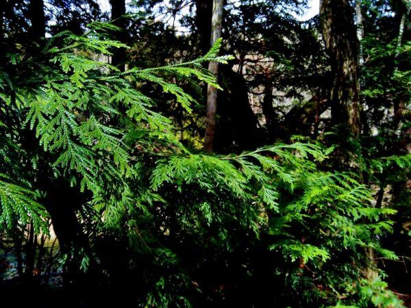 青森県むつ市 薬研渓流のヒバ林